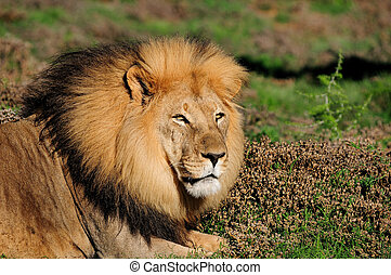 A male Kalahari lion, panthera leo, in the Kuzuko contractual area of the Addo Elephant National Park in South Africa
