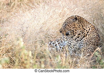 A male Leopard resting in the grass.