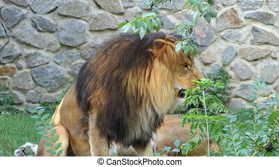 a Male Lion Growls at a Second Female Lion And She Goes Away