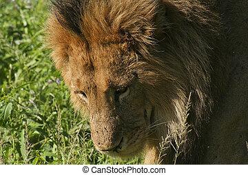 a male lion in kenya 2