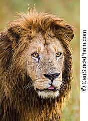 A male lion walking across the Masai Mara