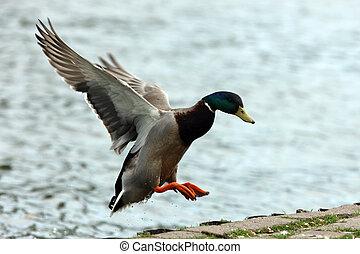 Mallard Duck - A Male Mallard Duck in flight