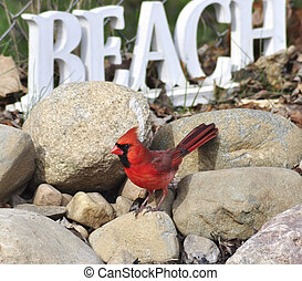 Northern Cardinal - a male Northern Cardinal sitting on a ...