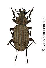 Carabus granulatus - A male of Carabus granulatus, ground ...