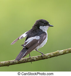 A male pied flycatcher lifts its wing - This pied flycatcher...
