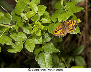 male wall brown butterfly