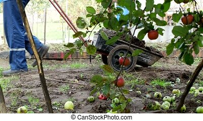 A man carries a garden cart with manure for transportation around the garden, fertilizing the soil, country cottage area