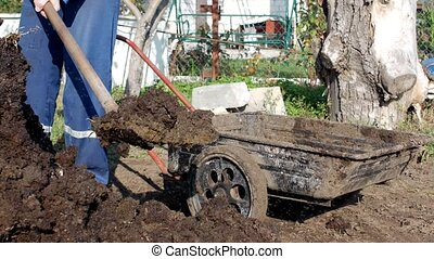 A man digs manure with a shovel to fertilize the soil and loads it into a garden cart for distribution around the garden, dung