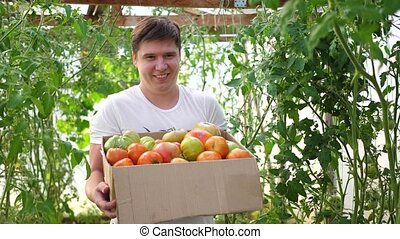A man farmer harvests in a greenhouse. The farmer holds a box of organic vegetables-tomatoes. Organic Farm Food Harvest