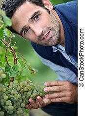 A man harvesting grapes.