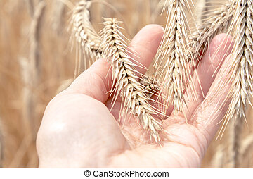 A man holds ripe spikelets of wheat in his hand against the background of a field.
