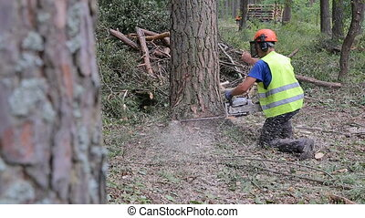 A man is cutting down a tree in the forest. The tree falls on the ground. Close-up shot.