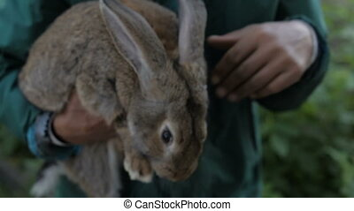 A man is holding a gray rabbit - Men's hands gently caress...