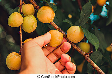 A man picking fruit from the tree