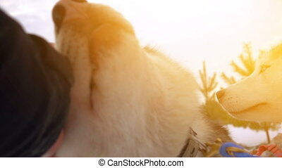 A man stroking a sled dog in sunny weather, slow motion - A ...