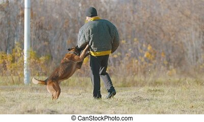 A man training his german shepherd dog - the dog clenching ...