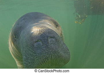 a West-Indian Manatee (Trichechus manatus) stares into underwater camera; Kings Bay; Crystal River; Florida; USA. In background is a boat propeller with manatee guard. by Hal Brindley