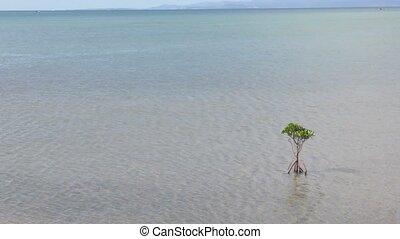 A mangrove tree(Rhizophora mucronata) on shallow sea in...