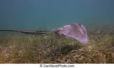 a manta ray filmed underwater in the mexican caribbean sea