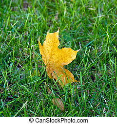 A maple leaf on green grass in early morning