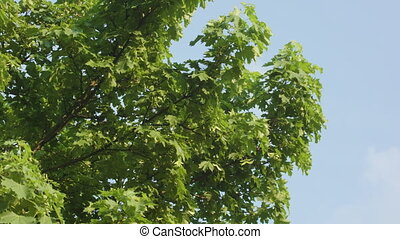 A beautiful maple tree in spring. Medium dolly shot