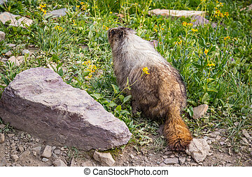 A Marmot at Glacier National Park - It is also known as a...
