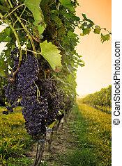 Vineyard at Sunset - A Maryland Vineyard at Sunset