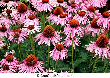 A mass of Echinacea flowers at Butchart Gardens