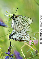 A mating pair of black-veined white butterflies (Aporia...