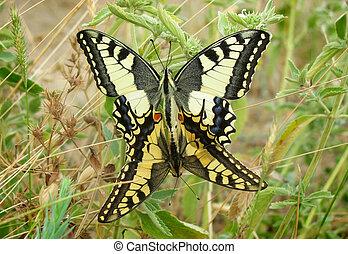 A mating pair of Machaon butterflies