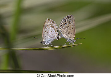 A mating pair of small butterfly, perching on the tip of a green plant, closeup. Indonesia