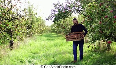 A mature man walking in orchard in autumn, carrying a box...