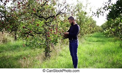 A mature man with basket picking apples in orchard in...