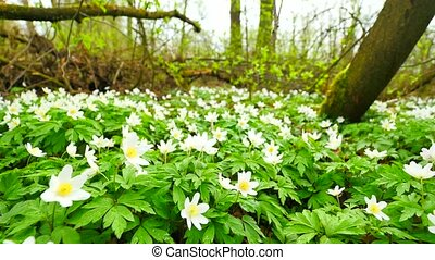 A meadow full of wood anemones in blossom, slow camera movement close up to ground. Flowering anemone nemorosa (well known as windflower or thimbleweed or smell fox) during spring season