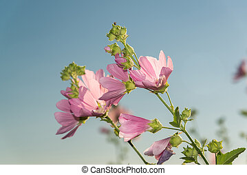 Meadow pink Mallow against a blue sky