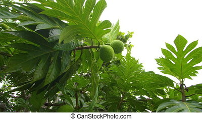 A medium shot of leaves - A medium shot of green leaves and...