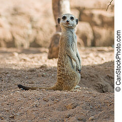 A Meerkat Standing Upright And Looking Alert