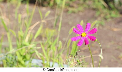 Mexican aster flower - A Mexican aster flower or Cosmos...