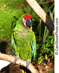 Military Macaw - A Military Macaw sitting on his perch in ...
