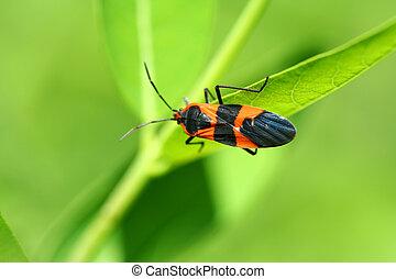 Milkweed bug - A Milkweed bug on a leaf