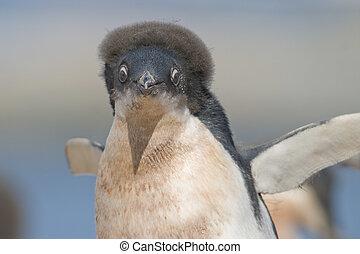a molting juvenile Adelie Penguin (Pygoscelis adeliae) with \'crazy hair\' at a colony on Yalour Island, Antarctic Peninsula, Antarctica. ? Hal Brindley .com