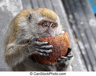 A Monkey eating a Coconut