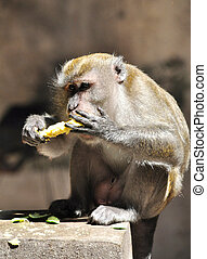 A Monkey eating a Mango