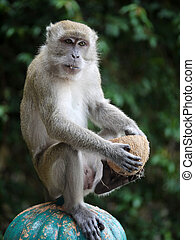 A Monkey with a Coconut