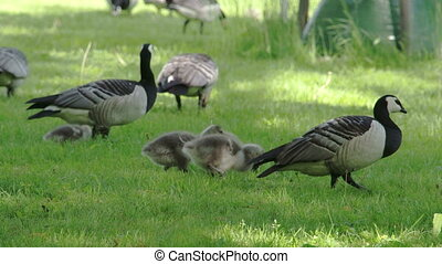 A mother goose and her goslings
