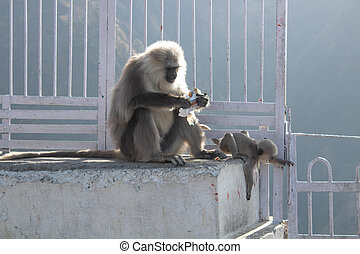 A mother monkey stealing cookies from tourist and her baby playing around on a grilled wall. Naughty animals concept.