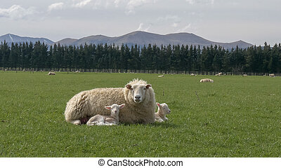 mother sheep rests with her two young lambs on a farm