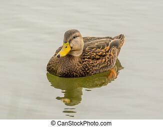 Mottled Duck - A Mottled Duck swims lazily along a south...