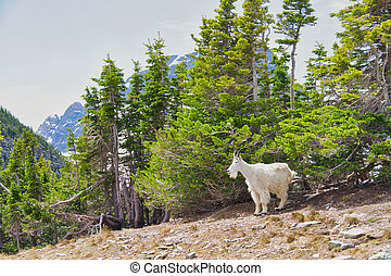A Mountain Goat in a Forest