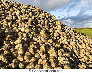 a mountain of sugar beet in the yar